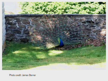 peacock at saint jacob's stone ucc church